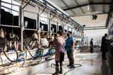 数字自动化挤奶厅